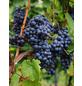 GARTENKRONE Weinrebe, Vitis vinifera »Muskat Bleu« Blüten: creme, Früchte: blau, essbar-Thumbnail