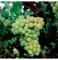 GARTENKRONE Weinrebe, Vitis vinifera »Primus« Blüten: creme, Früchte: gelb, essbar-Thumbnail