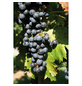 GARTENKRONE Weinrebe Vitis vinifera »Regent«-Thumbnail