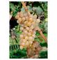 GARTENKRONE Weinrebe Vitis vinifera »Solaris«-Thumbnail