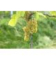 GARTENKRONE Weinrebe, Vitis vinifera »Solaris«, Blüten: creme, essbare Früchte-Thumbnail
