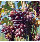GARTENKRONE Weinrebe, Vitis vinifera »Souvenir« Blüten: creme, Früchte: rot, essbar-Thumbnail