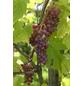 GARTENKRONE Weinrebe, Vitis vinifera »Vanessa« Blüten: creme, Früchte: rot, essbar-Thumbnail