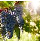 GARTENKRONE Weinrebe, Vitis vinifera »Venus *rot*«, Blüten: creme, essbare Früchte-Thumbnail