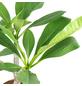 Westindische Frangipani, Plumeria »alba«, Blütenfarbe: gelb-Thumbnail