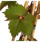 GARTENKRONE Wilder Wein Parthenocissus quinquefolia-Thumbnail