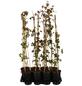 GARTENKRONE Wilder Wein, Parthenocissus quinquefolia, creme, winterhart-Thumbnail