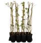 GARTENKRONE Wilder Wein Parthenocissus quinquefolia »Engelmanii«-Thumbnail