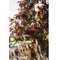 GARTENKRONE Wilder Wein Parthenocissus quinquefolia »Engelmannii«-Thumbnail