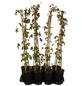 GARTENKRONE Wilder Wein Parthenocissus tricuspidata »Veitchii Robusta«-Thumbnail