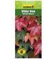 GARTENKRONE Wilder Wein, Parthenocissus tricuspidata »Veitchii Robusta«, creme, winterhart-Thumbnail