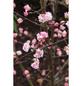Winter-Schneeball, Viburnum bodnantense »Charles Lamont«, Blütenfarbe hellrosa-Thumbnail
