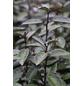 Wintergrüne Ölweide, Elaeagnus ebbingei »Elaeagnus ebbingei«, Blütenfarbe cremeweiß-Thumbnail