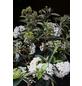 Wintergrüner Schneeball, Viburnum »Eskimo«, Blütenfarbe weiß-Thumbnail