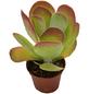 Wüstenkohl Kalanchoe thyrsiflora-Thumbnail