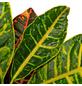 GARTENKRONE Wunderstrauch Codiaeum variegatum »Petra«-Thumbnail
