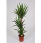 GARTENKRONE Yucca-Palme Yucca elephantipes-Thumbnail
