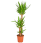 GARTENKRONE Yucca-Palme Yucca elephantipes 3-Stamm 140 cm-Thumbnail