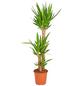 GARTENKRONE Yucca-Palme, Yucca Elephantipes, Topf-Ø: 24cm-Thumbnail