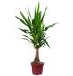 Yucca-Palme Yucca guatemalensis-Thumbnail