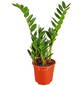 GARTENKRONE Zamie Zamioculcas zamiifolia-Thumbnail