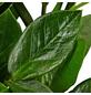 GARTENKRONE Zamie Zamioculcas zamiifolia 70 cm-Thumbnail