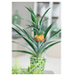 GARTENKRONE Zier-Ananas, Ananas comosus, Blütenfarbe: gelb-Thumbnail