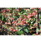 GARTENKRONE Zierapfel, Malus »Red Sentinel«, Blütenfarbe weiß-Thumbnail