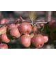 GARTENKRONE Zierapfel, Malus »Royalty«, Blütenfarbe weiß-Thumbnail