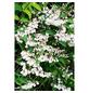 GARTENKRONE Ziergehölz »Deutzia scabra«-Thumbnail