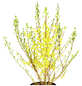 GARTENKRONE Ziergehölz »Forsythia intermedia«-Thumbnail