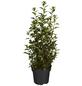 GARTENKRONE Ziergehölz »Physocarpus opulifolius«-Thumbnail