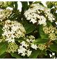 GARTENKRONE Ziergehölz »Viburnum tinus«-Thumbnail