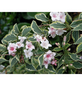 GARTENKRONE Ziergehölz »Weigela florida«-Thumbnail