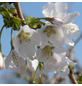 GARTENKRONE Zierkirsche Prunus incisa »Kojou-no-mai«-Thumbnail