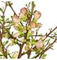 GARTENKRONE Zierquitte , Chaenomeles speciosa »Friesdorfer«, rot, winterhart-Thumbnail