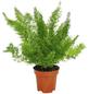Zierspargel,  Asparagus, Topf-Ø: 12cm-Thumbnail