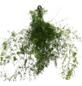 Zierspargel, densiflorus Asparagus »sprengeri«-Thumbnail