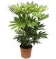 Zimmeraralie, japonica Fatsia »variegata«, Topf-Ø: 21cm-Thumbnail