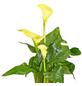 GARTENKRONE Zimmercalla, Zantedeschia Hybriden »in Sorten«, Blütenfarbe: mehrfarbig-Thumbnail
