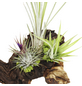 Zimmerpflanze Blattfarbe: grün-Thumbnail
