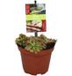 Zimmerpflanze Blattfarbe: rot-Thumbnail