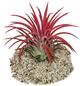COMPASELECT Zimmerpflanze Blattfarbe: rot-Thumbnail