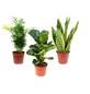 Zimmerpflanzen-Trio Premium Set (Bergpalme, Geigenfeige, Bogenhanf)-Thumbnail