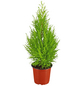 GARTENKRONE Zimmerzypresse, Cupressus macrocarpa »Goldcrest Wilma«, im Kunststoff-Kulturtopf-Thumbnail