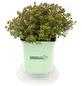 GREENBAR Zitronenthymian 3er Set, Thymus x Citriodorus, Blütenfarbe: weiß-Thumbnail