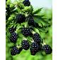 Zucker-Brombeere Rubus »Asterina«-Thumbnail