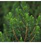 GARTENKRONE Zuckerhutfichte Glauca Picea »Conica«-Thumbnail