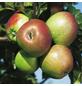 GARTENKRONE Zwerg-Apfel, Malus pumila, Früchte: süß, zum Verzehr geeignet-Thumbnail