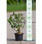 GARTENKRONE Zwerg-Apfelbeere Aronia prunifolia »Viking«-Thumbnail
